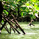 mangrove at west coast of koh lanta